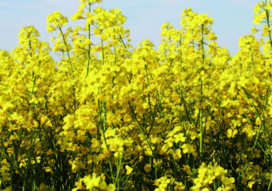 DIE GELBE ALTERNATIVE. Rapsölkraftstoff statt Diesel in der Landwirtschaft könnte ein Baustein für die Reduktion von Treibhausgas-Emissionen werden.